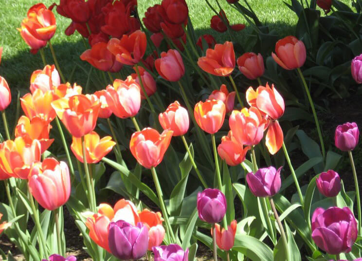 Tulips at Peddlers