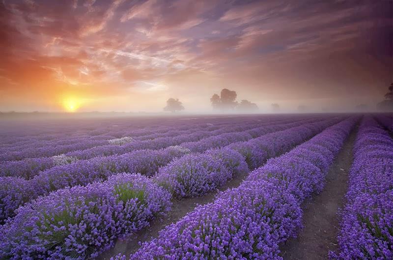 Lavender & A Legacy