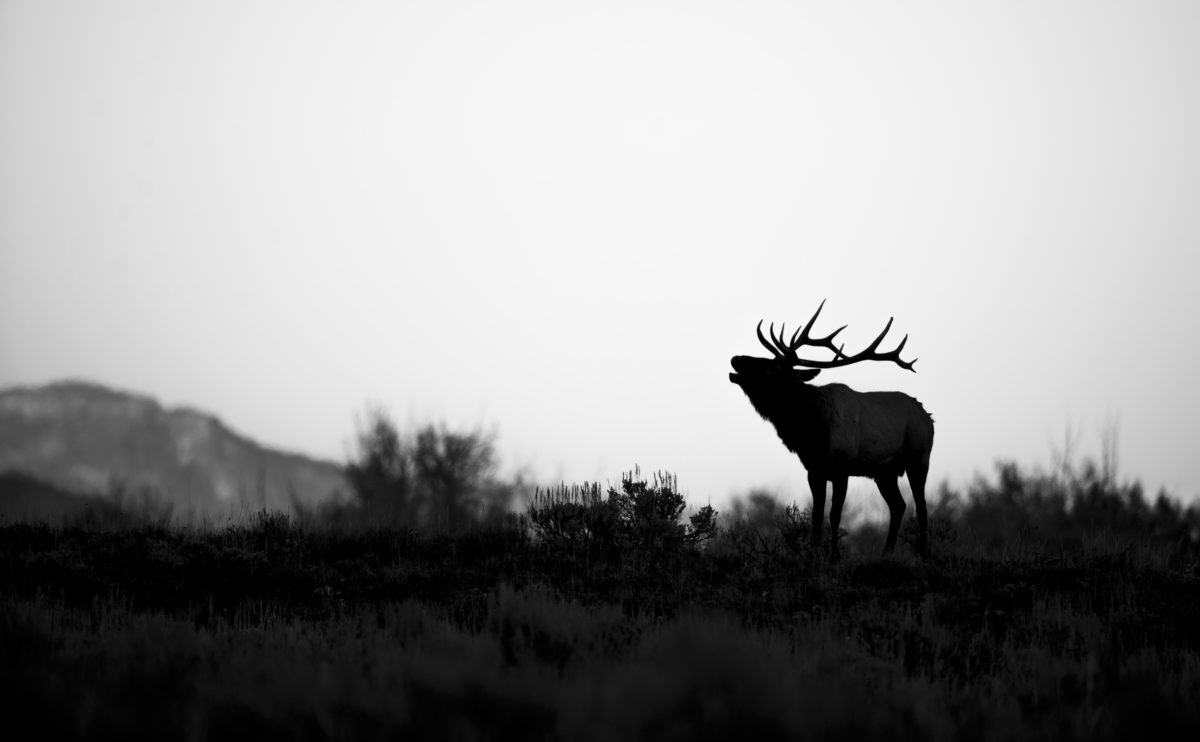 Ryan Sheets photographer, Elk in Jackson, Grand Tetons
