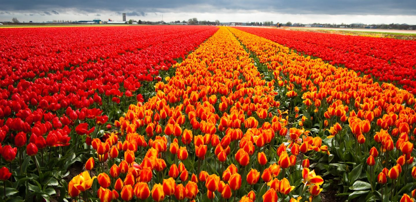 Beautiful field of red and variegated tulips.
