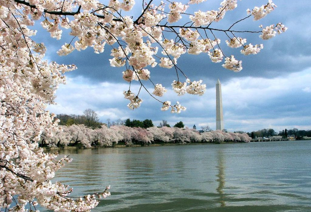 Cherry Blossoms & Odyssey Cruise