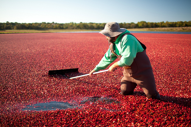 Cranberry Harvest in Cape Cod
