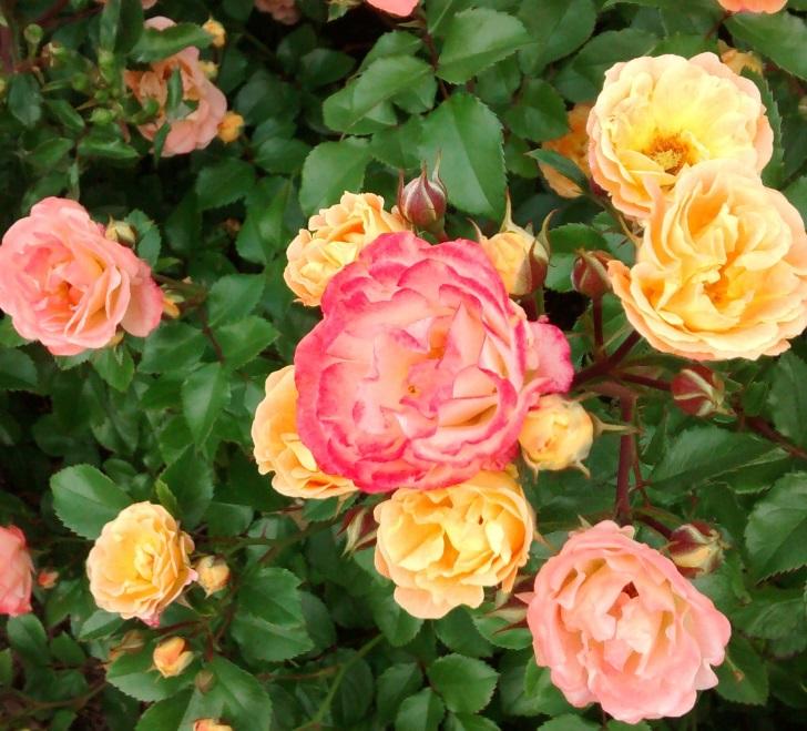 Celebration of Roses