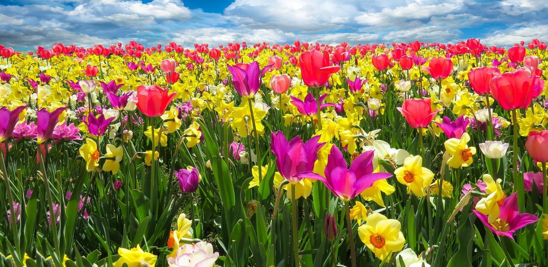 Tulip Time in Holland, Michigan